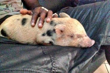 Balotelli se compra un cerdo como animal de compañía