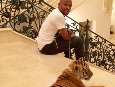 A Mayweather le regalan un tigre por Navidad