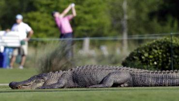 Golfista sobrevive a ataque de cocodrilo gracias a su bastón